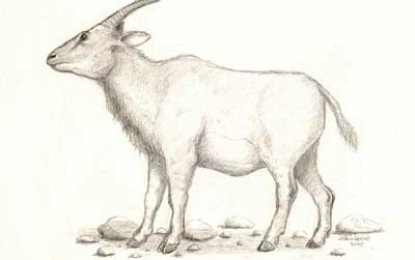 Myotragus Balearicus, Extinction of Mouse-Goats