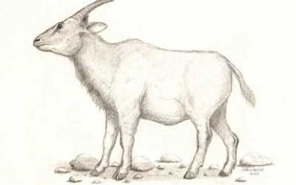 Myotragus Balearicus, Extinction of Mouse-Goats