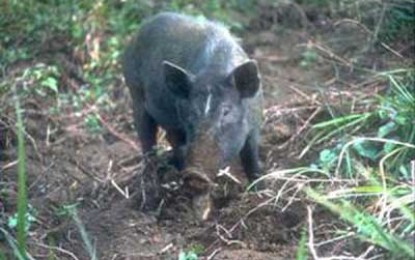 Pigs Shed New Light on Human Colonisation
