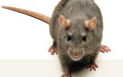 Headlice and rats