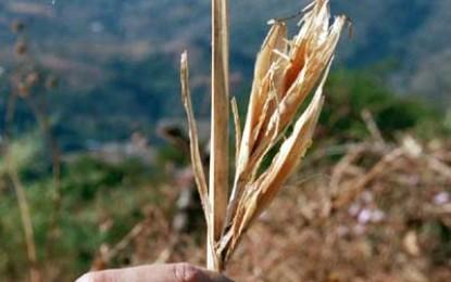 Maize Domestication