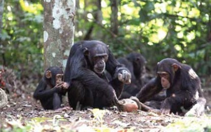 Tooled Up Chimps
